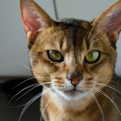 abyssinian cat image