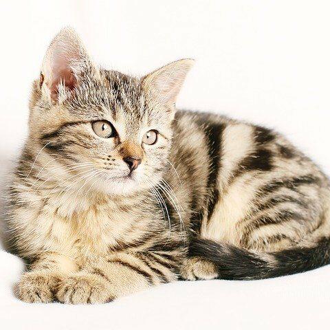 European Common Cat