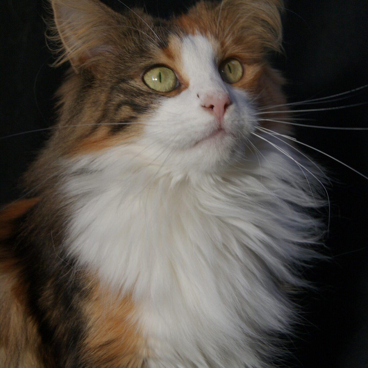 norwegian-forest-cat-1515644_1920