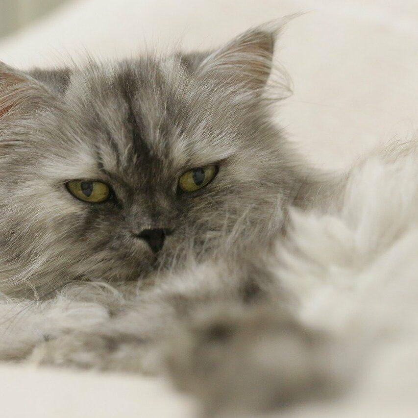 persian-cat-2741089_1280
