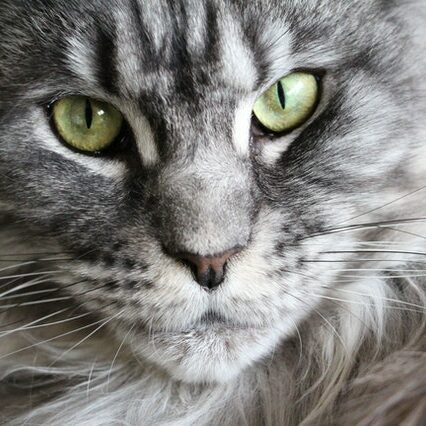 Maine Coon Main page