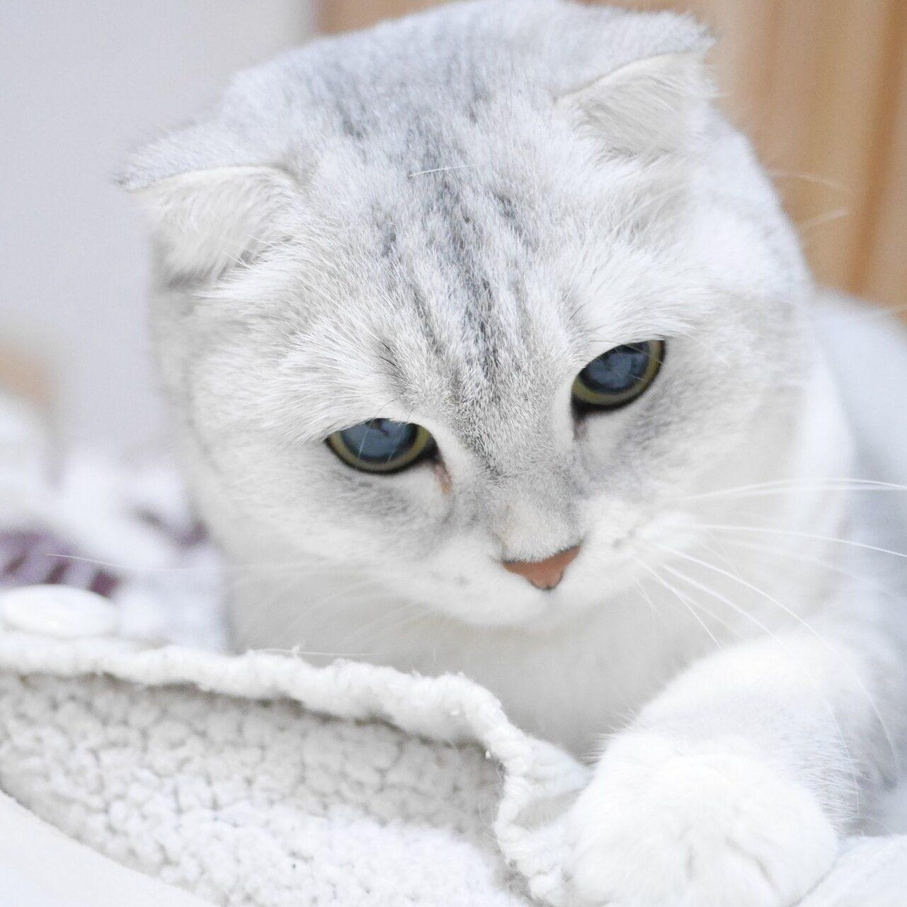 scottish-fold-cats-1073667_1920